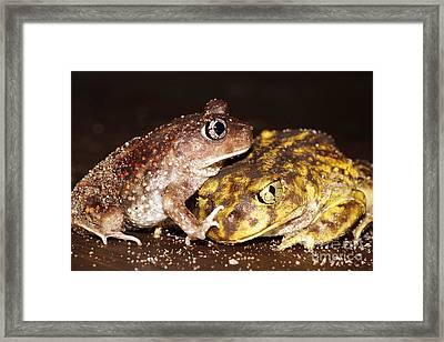 Eastern Spadefoot Toads Framed Print by Lynda Dawson-Youngclaus