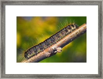 Eastern Tent Caterpiller Moth Framed Print by Bill Tiepelman