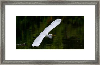Egret And Gator Framed Print by Andres Leon