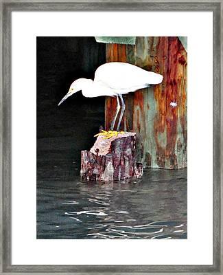 Egret Fishing Framed Print by John Collins