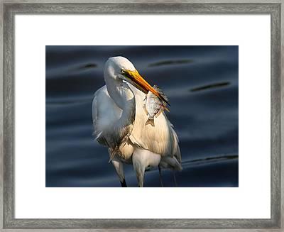 Egret Fishing Framed Print by Phil Lanoue
