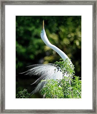 Egret  Framed Print by Nancy Greenland