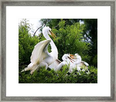 Egret With Babies Framed Print by Paulette Thomas