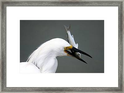 Egret With His Catch Of The Day Framed Print by Paulette Thomas