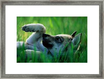Eight-week-old Captive Gray Wolf, Canis Framed Print by Joel Sartore