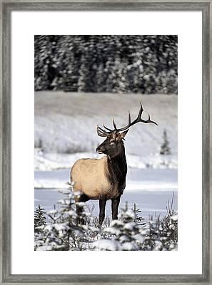 Elk Cervus Canadensis Bull Elk During Framed Print by Richard Wear