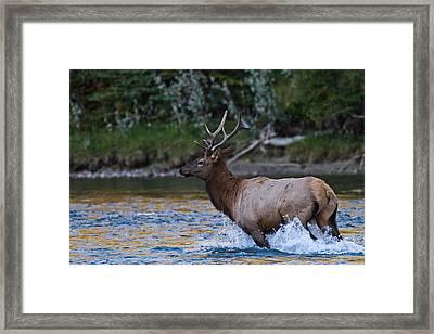Elk Through Water Framed Print by Maik Tondeur