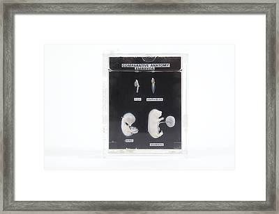 Embryonic Development Framed Print by Gregory Davies, Medinet Photographics