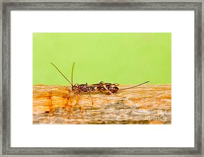 Emerald Ash Borer Parasite Framed Print by Science Source