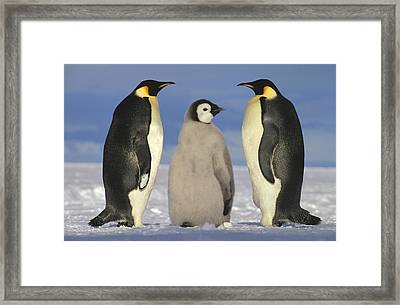 Emperor Penguin Aptenodytes Forsteri Framed Print by Tui De Roy