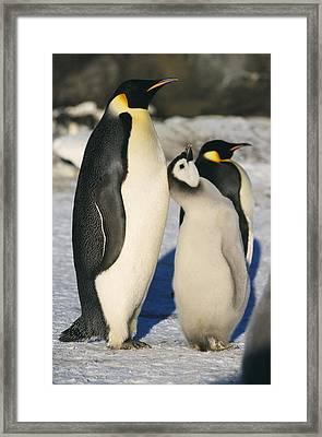 Emperor Penguins With Chick Framed Print by Doug Allan