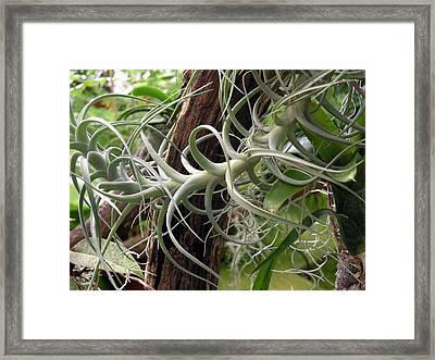 Epiphytic Bromeliad Framed Print by Tony Craddock