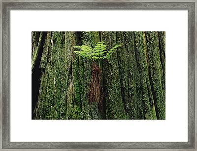 Epiphytic Fern Growing On Redwood Framed Print by Gerry Ellis