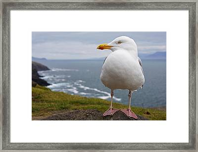 European Herring Gull Larus Argentatus Framed Print by Trish Punch