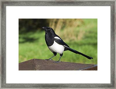 European Magpie Framed Print by Georgette Douwma