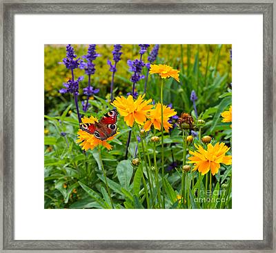 European Peacock Butterfly On Tickseed With Lavender Framed Print by Louise Heusinkveld