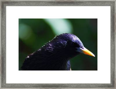 European Starling Framed Print by Scott Hovind