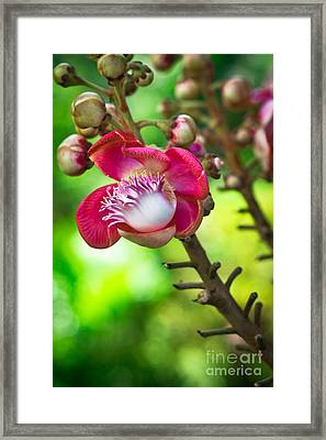 Exotic Cannonball Flower Framed Print by Melle Varoy