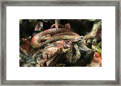 Eyelash Viper Framed Print by JC Findley
