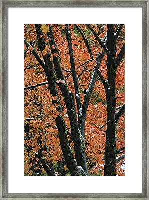 Fall Foliage Of Maple Trees After An Framed Print by Tim Laman