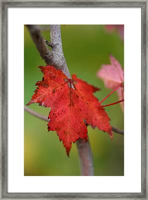 Fall Leaf Framed Print by Brady D Hebert