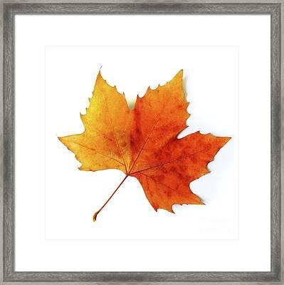 Fall Leaf Framed Print by Carlos Caetano