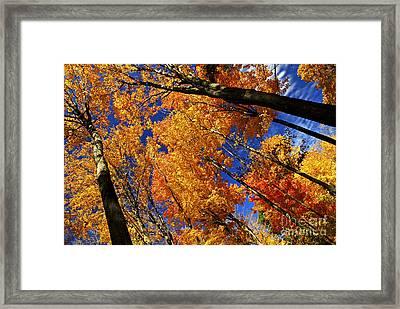 Fall Maple Treetops Framed Print by Elena Elisseeva