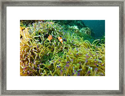 False Clown Anemonefish Amphiprion Framed Print by Tim Laman