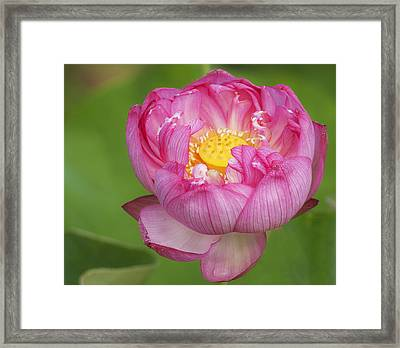 Fancy Lotus Framed Print by Elvira Butler