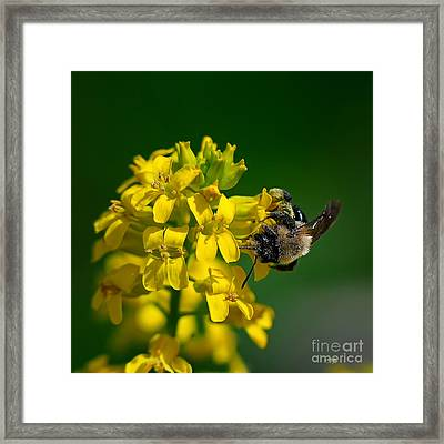Fanfare For The Common Bumblebee Framed Print by Lois Bryan
