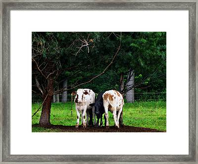 Farm Cattle Framed Print by Ms Judi