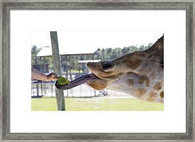 Feeding Time Framed Print by Rebecca Cozart