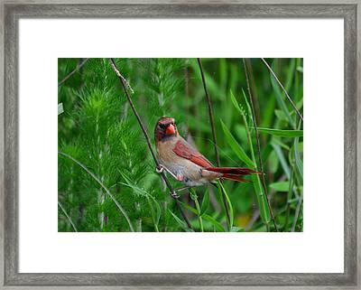 Female Cardinal - C5527a Framed Print by Paul Lyndon Phillips