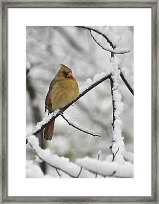 Female Cardinal 3656 Framed Print by Michael Peychich