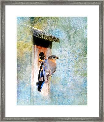 Female Eastern Bluebird At Nesting Box Framed Print by Jai Johnson
