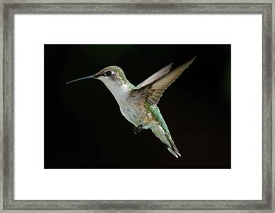 Female Hummingbird Framed Print by DansPhotoArt on flickr