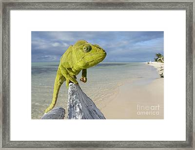 Female Oustalet's Chameleon Framed Print by Alex Rosenfield and Photo Researchers