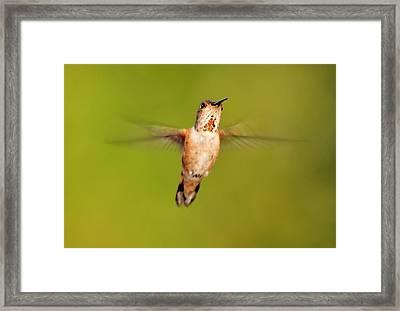 Female Rufous Hummingbird In Flight Framed Print by Barbara Rich
