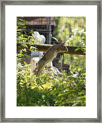Fence Jumping Rabbit Framed Print by Robert E Alter Reflections of Infinity