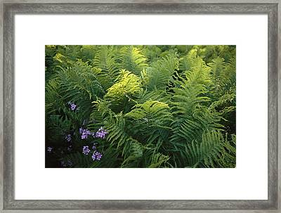 Ferns And Wild Phlox Framed Print by Raymond Gehman