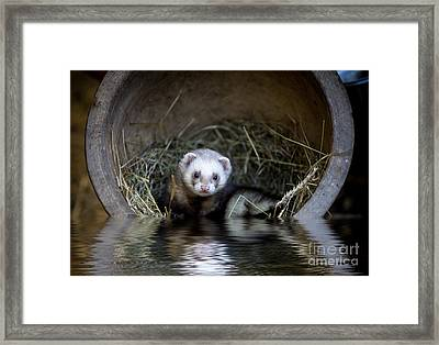 Ferret In A Pot Framed Print by Simon Bratt Photography LRPS