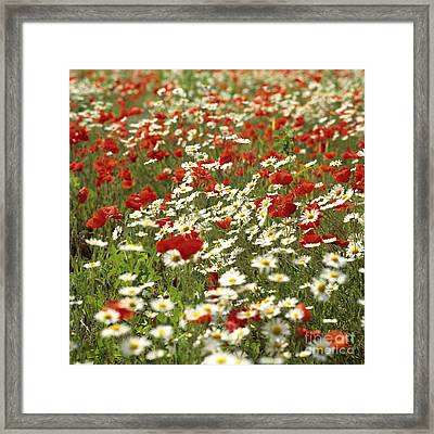 Field Of Poppies And Daisies In Limagne  Auvergne. France Framed Print by Bernard Jaubert