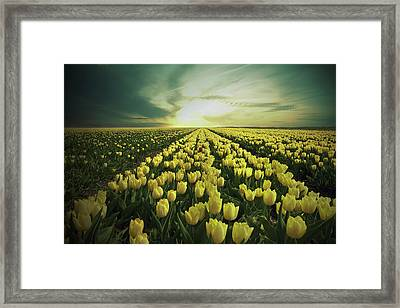 Field Of Yellow Tulips Framed Print by Maik Keizer