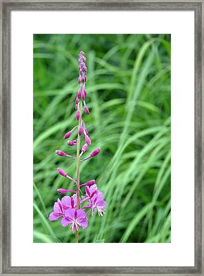 Fireweed Framed Print by Lisa Phillips