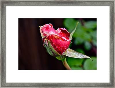 First Rose Framed Print by Bill Owen