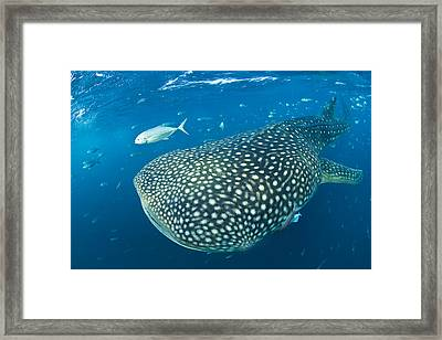 Fish Following A Whale Shark Framed Print by Paul Nicklen
