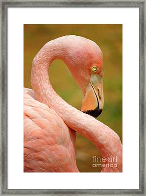 Flamingo Framed Print by Carlos Caetano
