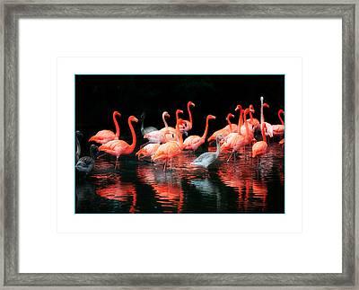 Flamingos Framed Print by Mal Bray
