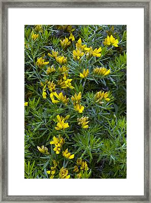 Flax Broom (genista Linifolia) Framed Print by Bob Gibbons