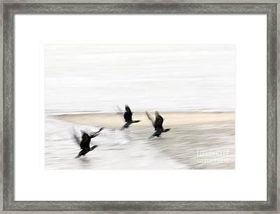 Flight Of The Cormorants Framed Print by David Lade